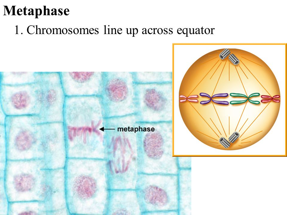 Metaphase 1. Chromosomes line up across equator