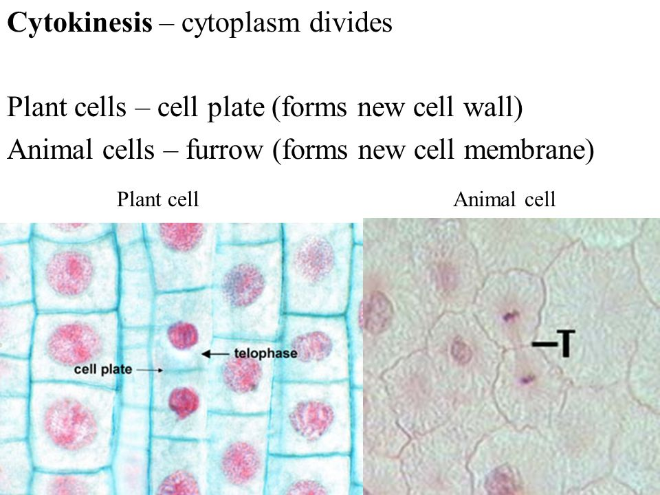 Cytokinesis – cytoplasm divides Plant cells – cell plate (forms new cell wall) Animal cells – furrow (forms new cell membrane) Plant cellAnimal cell