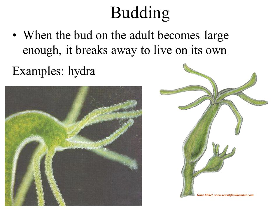Budding When the bud on the adult becomes large enough, it breaks away to live on its own Examples: hydra