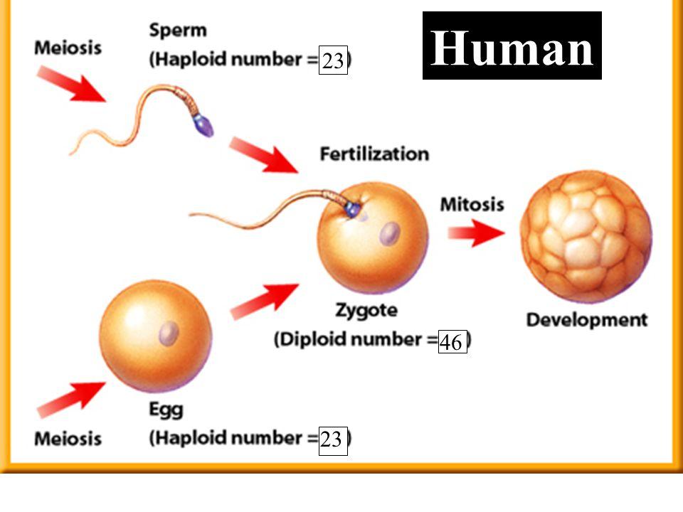 23 46 Human