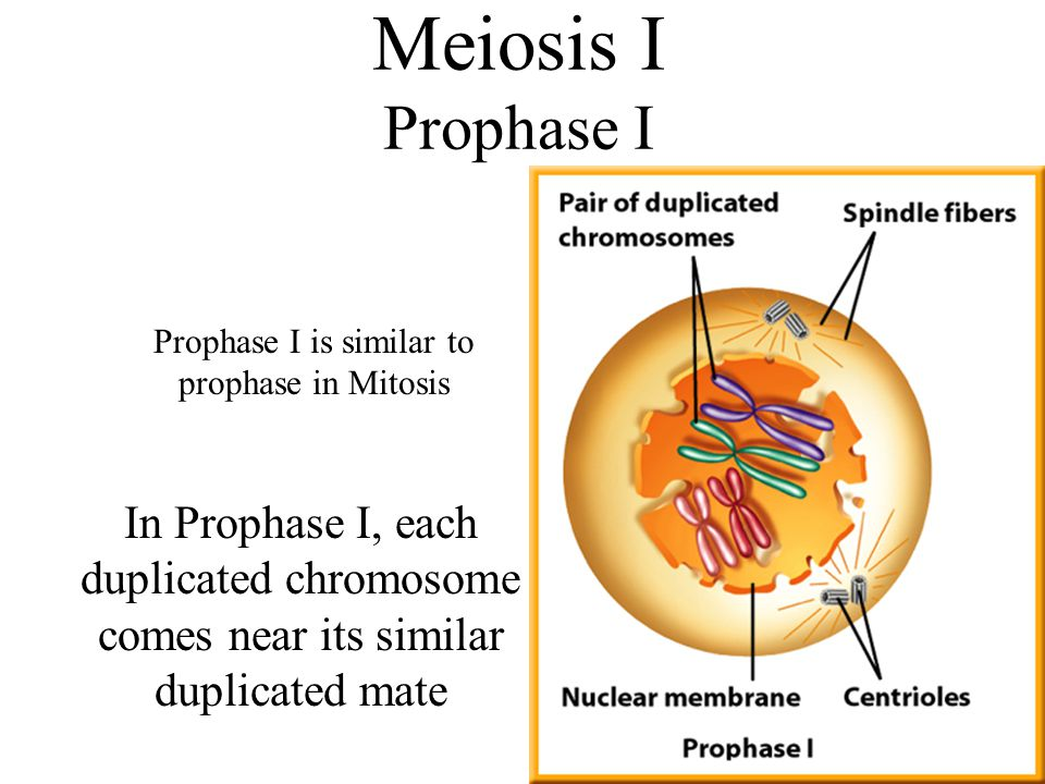 Meiosis I Prophase I In Prophase I, each duplicated chromosome comes near its similar duplicated mate Prophase I is similar to prophase in Mitosis