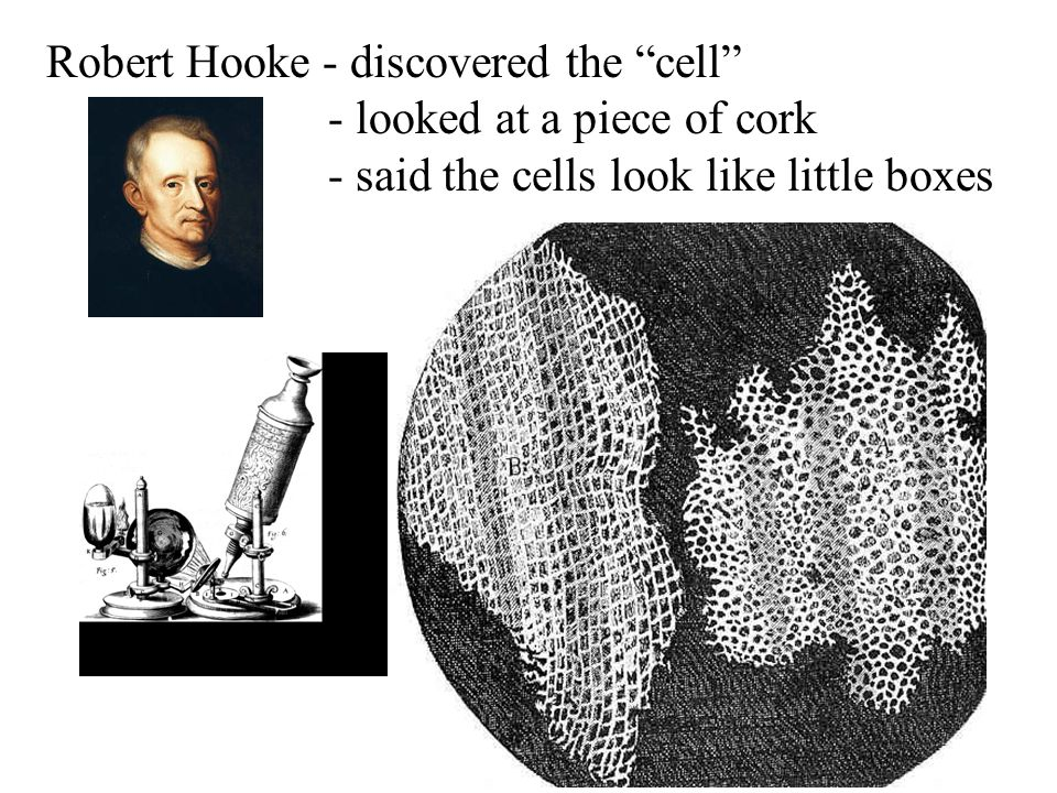 Robert Hooke - discovered the cell - looked at a piece of cork - said the cells look like little boxes