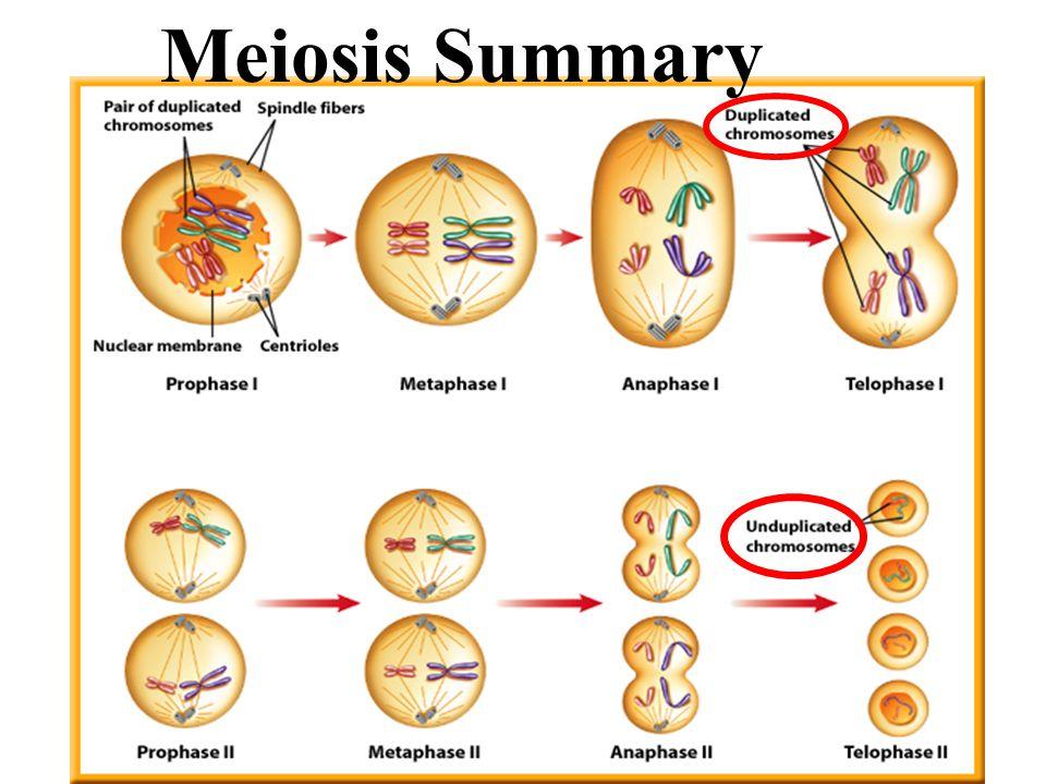 Meiosis Summary