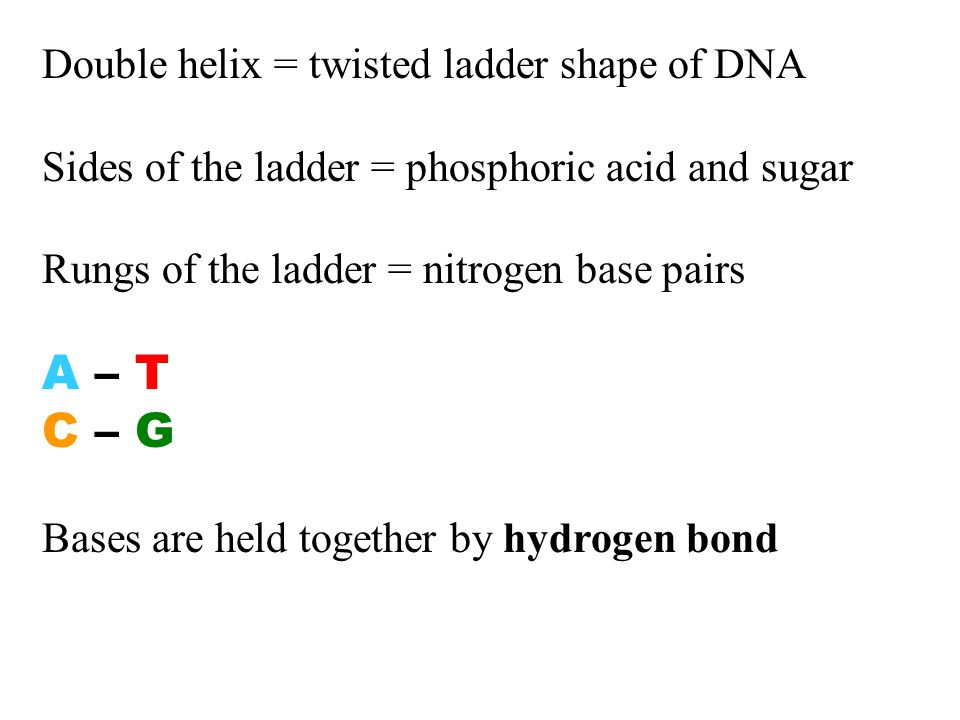 Double helix = twisted ladder shape of DNA Sides of the ladder = phosphoric acid and sugar Rungs of the ladder = nitrogen base pairs A – T C – G Bases are held together by hydrogen bond