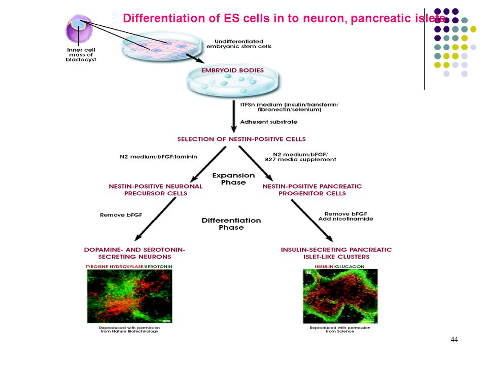 44 Differentiation of ES cells in to neuron, pancreatic islets