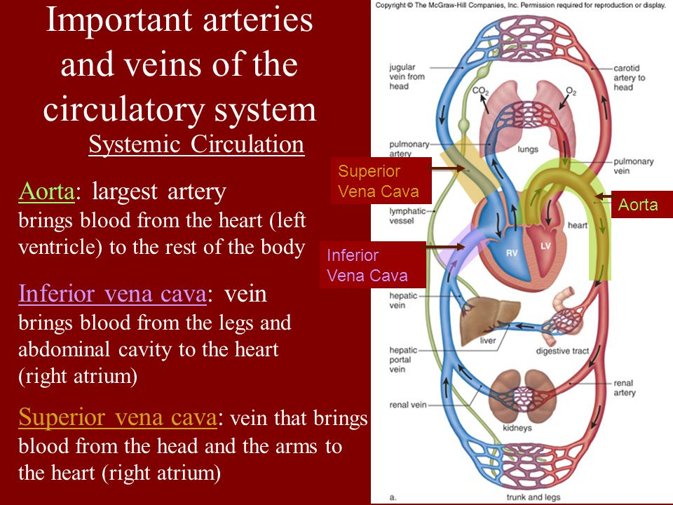 Important arteries and veins of the circulatory system Systemic Circulation Aorta: largest artery brings blood from the heart (left ventricle) to the