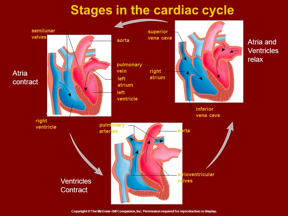 Stages in the cardiac cycle Copyright © The McGraw-Hill Companies, Inc. Permission required for reproduction or display. superior vena cava right atri