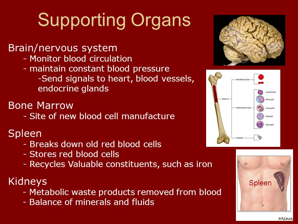 Brain/nervous system - Monitor blood circulation - maintain constant blood pressure -Send signals to heart, blood vessels, endocrine glands Bone Marro