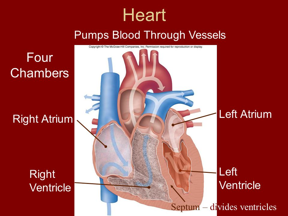 Blood Flow Through Heart 1.Blood arrives in the atria of the heart 2.