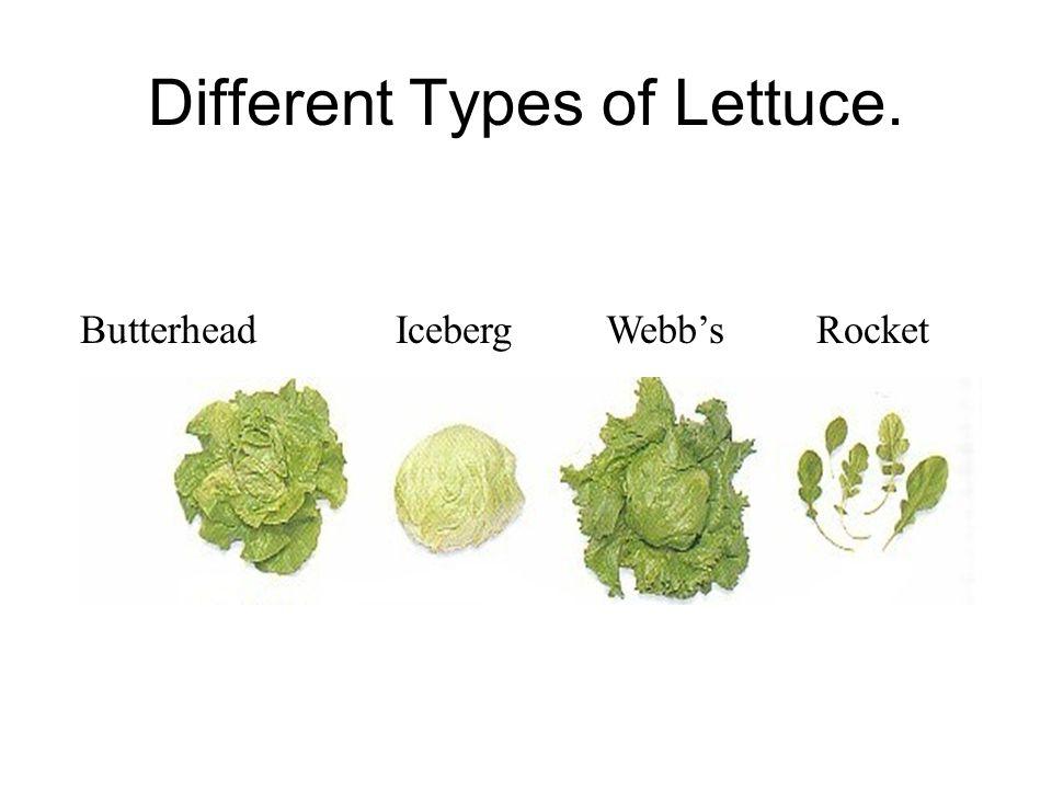 Different Types of Lettuce. ButterheadIcebergWebb'sRocket
