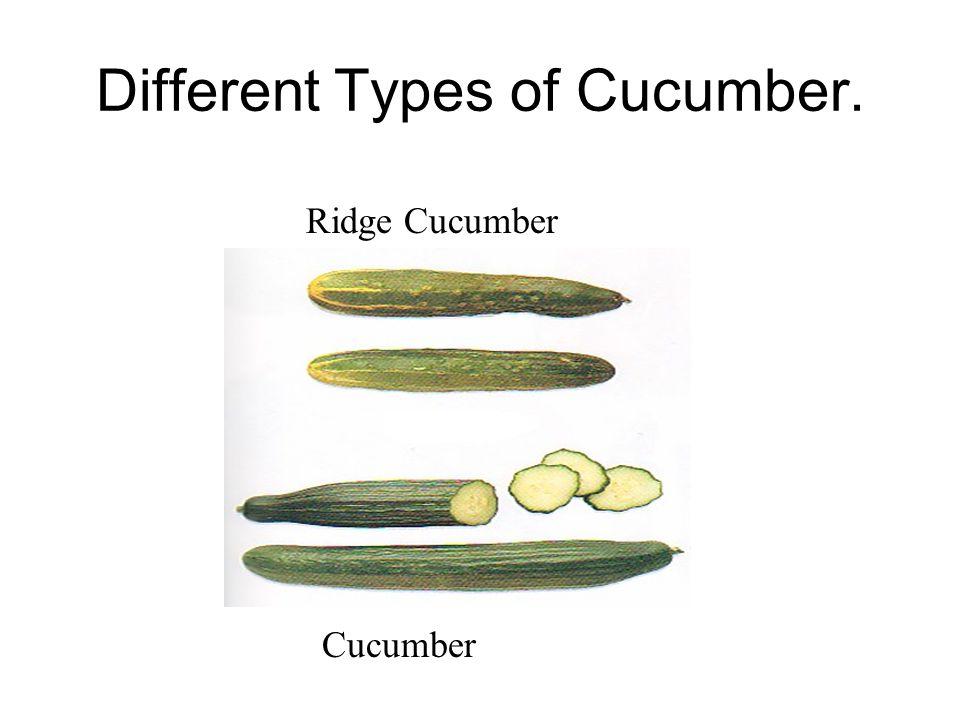 Different Types of Cucumber. Ridge Cucumber Cucumber