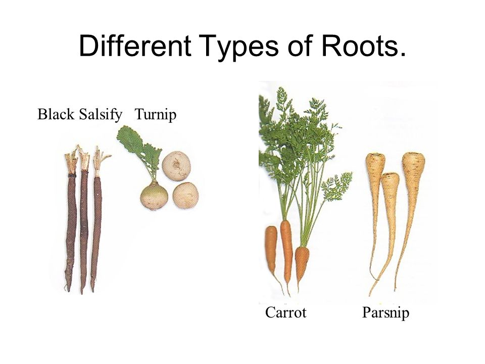 Different Types of Roots. Black SalsifyTurnip CarrotParsnip