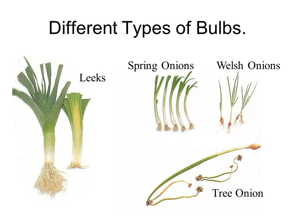Different Types of Bulbs. Spring OnionsWelsh Onions Tree Onion Leeks