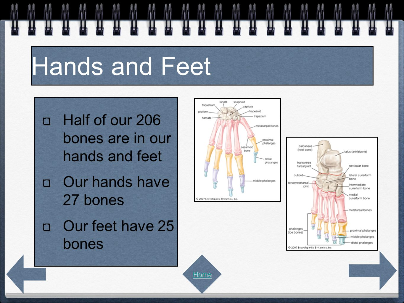 Half of our 206 bones are in our hands and feet Our hands have 27 bones Our feet have 25 bones Hands and Feet Home