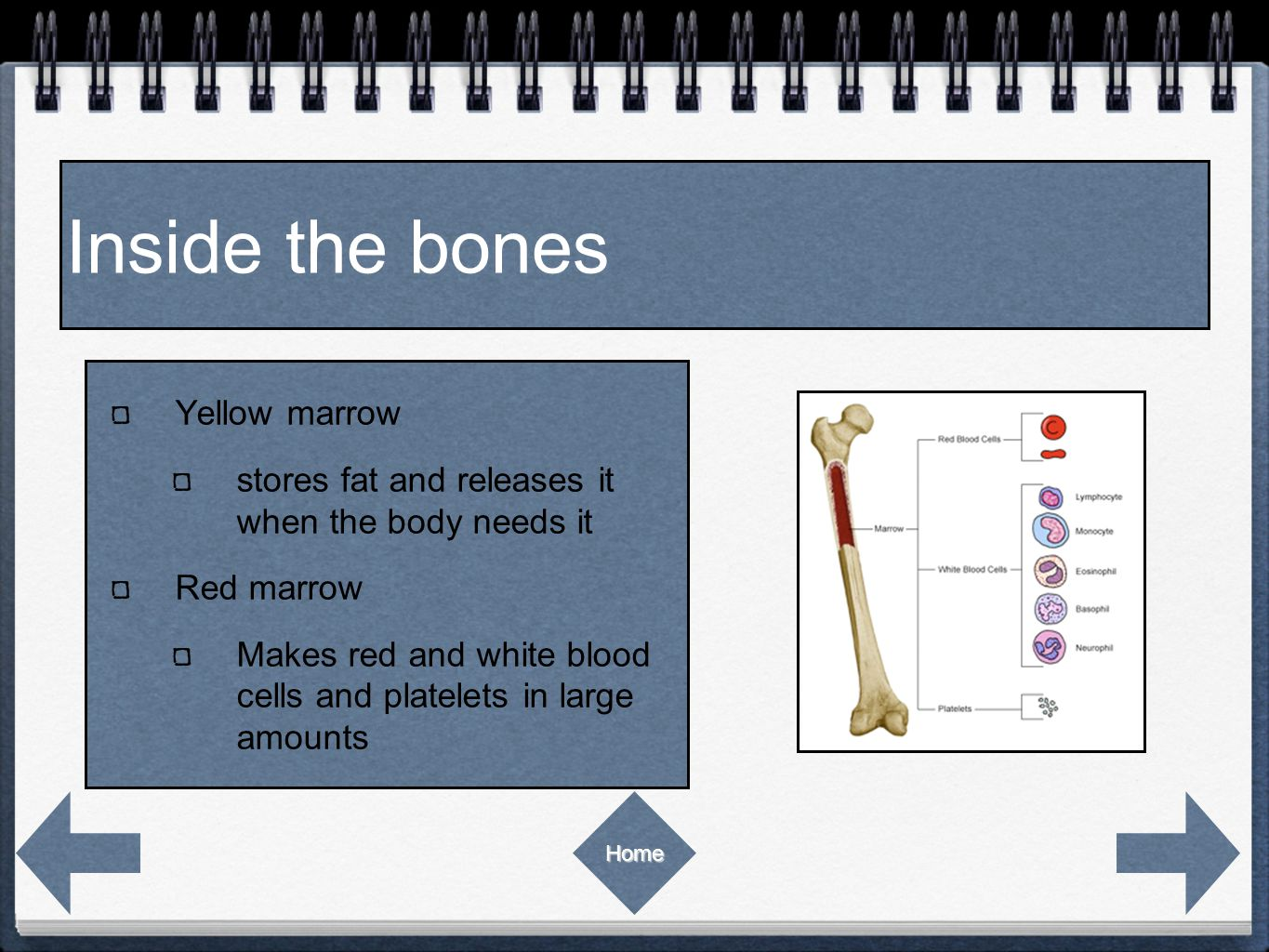 Inside the bones Yellow marrow stores fat and releases it when the body needs it Red marrow Makes red and white blood cells and platelets in large amounts Home