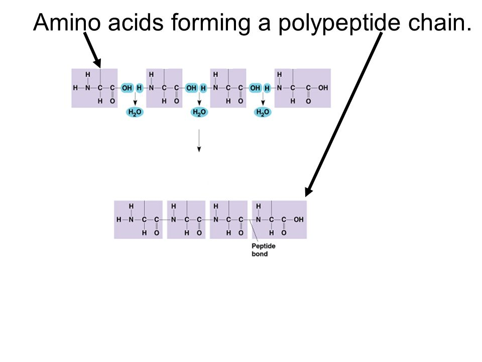 Amino acids forming a polypeptide chain.