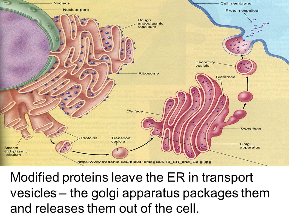 Modified proteins leave the ER in transport vesicles – the golgi apparatus packages them and releases them out of the cell.