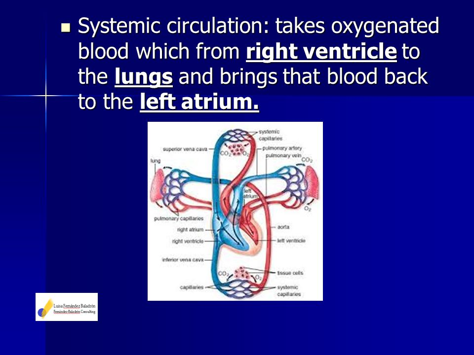 Systemic circulation: takes oxygenated blood which from right ventricle to the lungs and brings that blood back to the left atrium. Systemic circulati