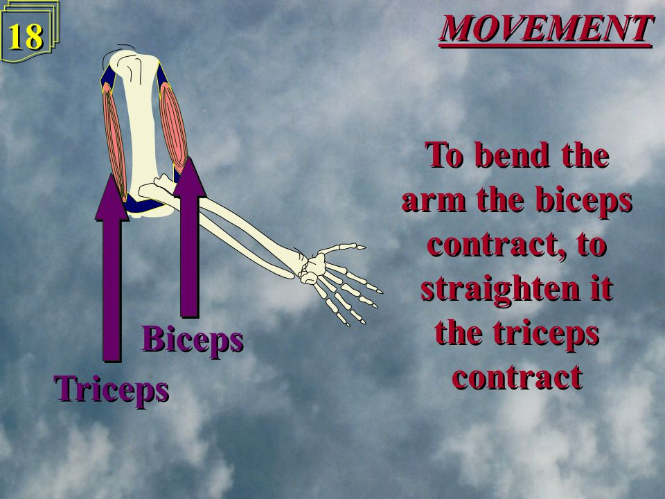 MOVEMENT 17 Since they can only pull, not push, muscles must work in pairs in order to move limbs Since they can only pull, not push, muscles must wor