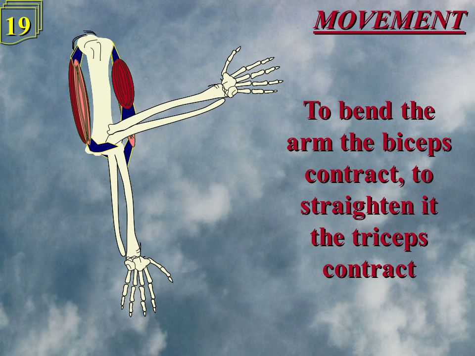 MOVEMENT 18 To bend the arm the biceps contract, to straighten it the triceps contract To bend the arm the biceps contract, to straighten it the triceps contract Biceps Triceps