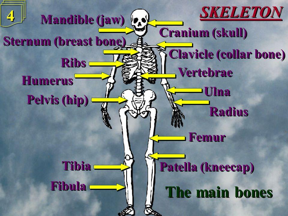 3 3 The human Skeleton has 206 Bones The human Skeleton has 206 Bones Their main function is to protect, support and help movement Their main function is to protect, support and help movement