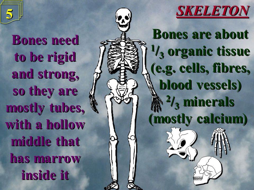 Mandible (jaw) SKELETON 4 4 Cranium (skull) Clavicle (collar bone) Vertebrae Radius Ulna Pelvis (hip) Humerus Sternum (breast bone) Ribs Femur Patella (kneecap) Tibia Fibula The main bones The main bones