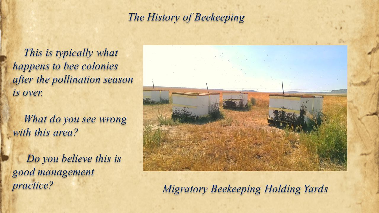 The History of Beekeeping Migratory Beekeeping Holding Yards This is typically what happens to bee colonies after the pollination season is over. What