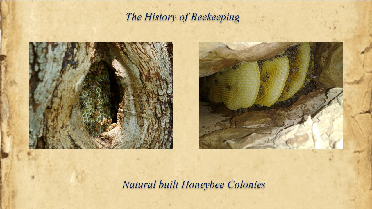 The History of Beekeeping In ancient times, the colony was destroyed during the harvesting of honey and wax.
