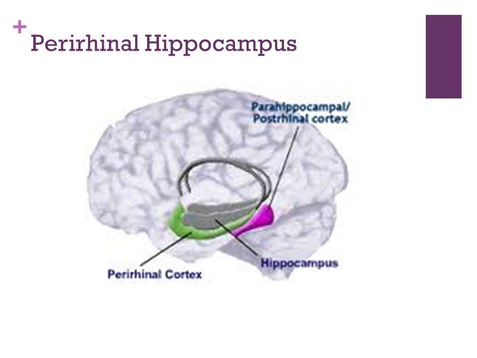 + Perirhinal Hippocampus