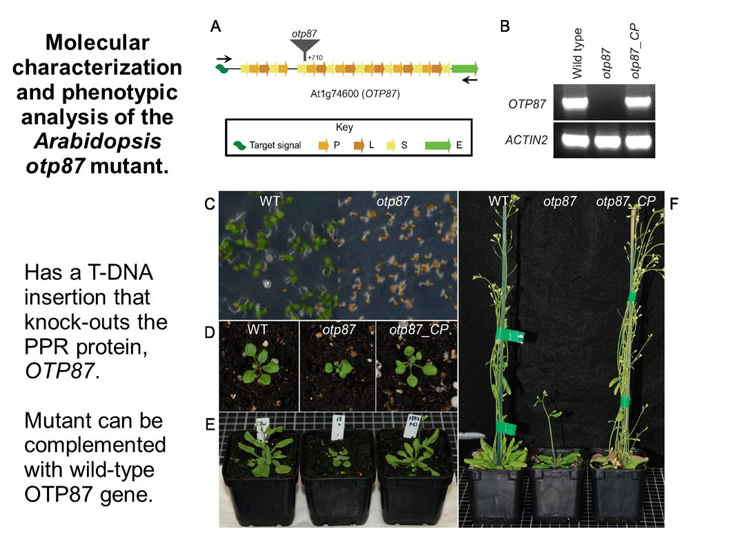 Molecular characterization and phenotypic analysis of the Arabidopsis otp87 mutant. Has a T-DNA insertion that knock-outs the PPR protein, OTP87. Muta