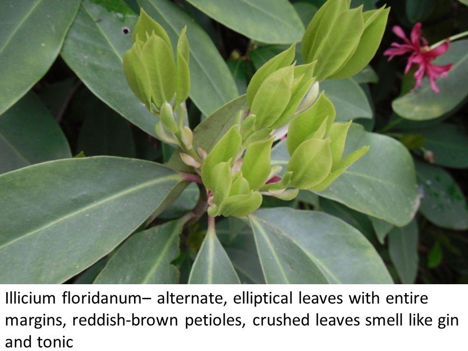 Agarista populifolia – alternate, lanceolate leaves with serrulate margins and acute tips.