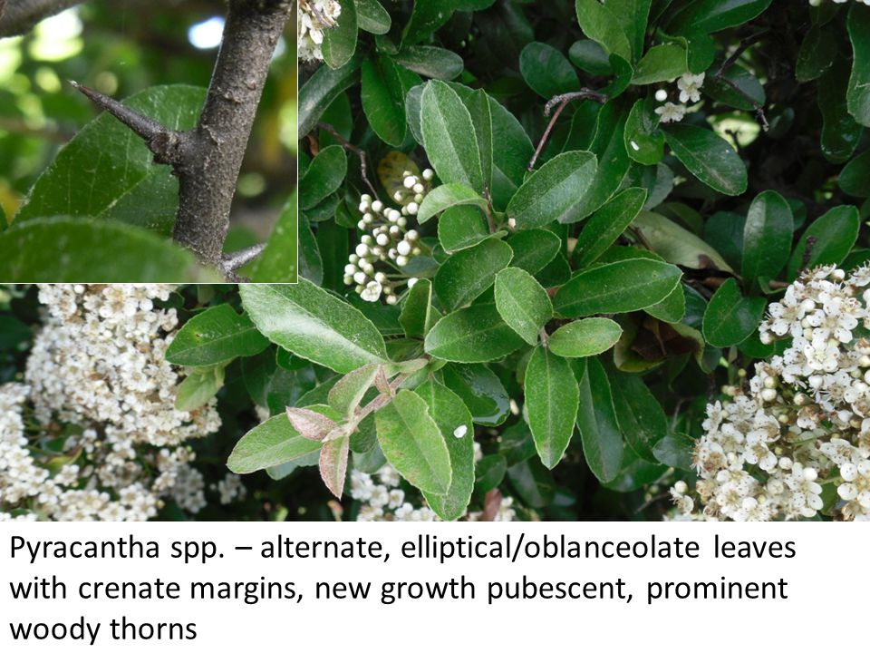 Pyracantha spp. – alternate, elliptical/oblanceolate leaves with crenate margins, new growth pubescent, prominent woody thorns