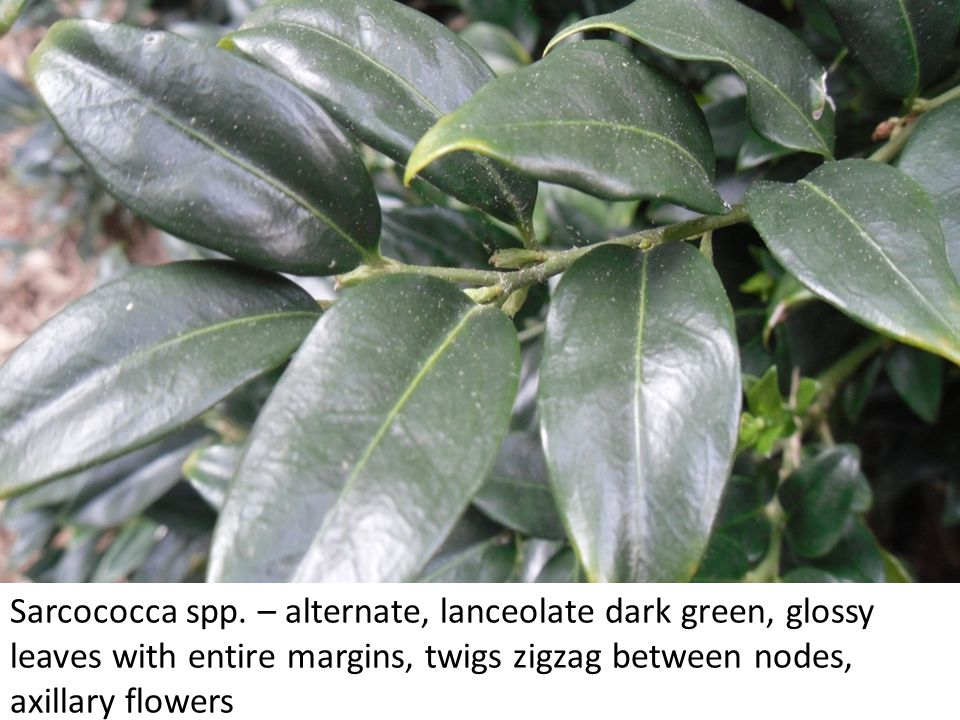 Pittosporum tobira – alternate, obovate/oblanceolate leaves with entire margins which often curl down on the sides, obtuse leaf tip, very pungent when crushed