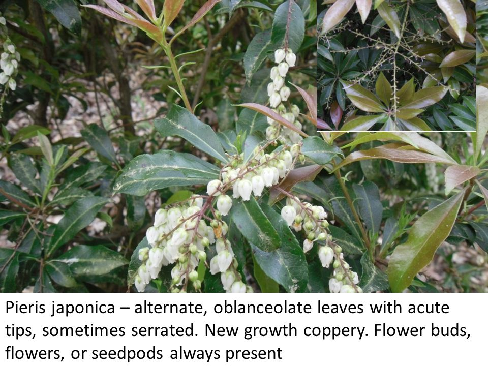 Pieris japonica – alternate, oblanceolate leaves with acute tips, sometimes serrated. New growth coppery. Flower buds, flowers, or seedpods always pre