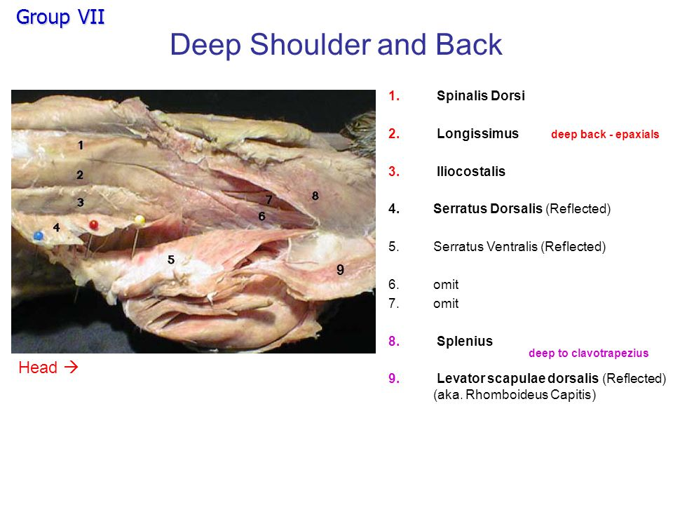 Deep Chest 1.Scalenus ventralis 2.Scalenus medialis 3.Scalenus dorsalis 4.Serratus ventralis 5.Rectus abdominis 6.External intercostals 123 4 5 6 Head 