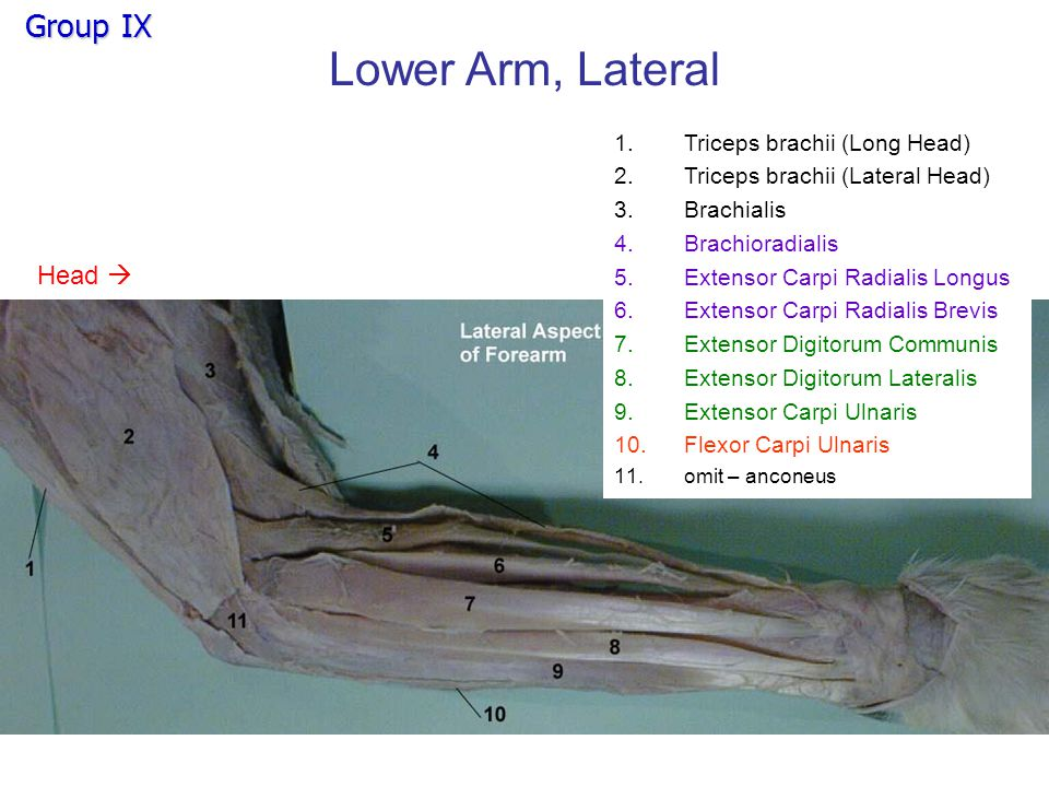 Lower Arm, Lateral Head 