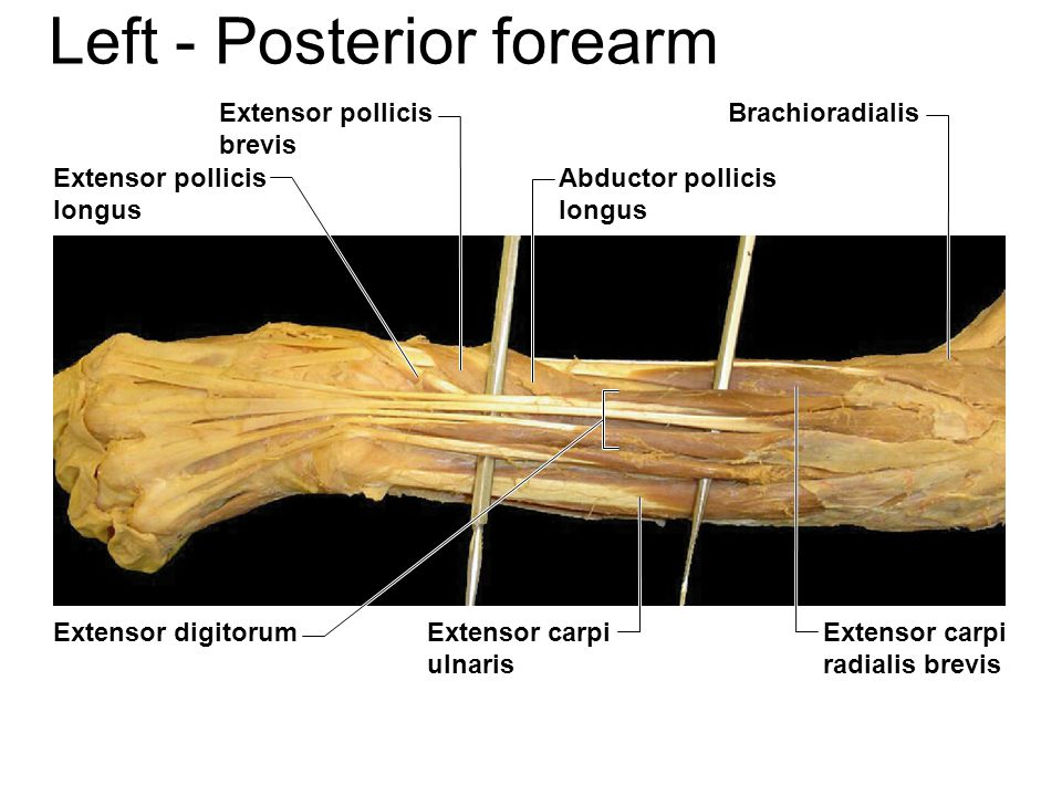 Lower Arm, Medial