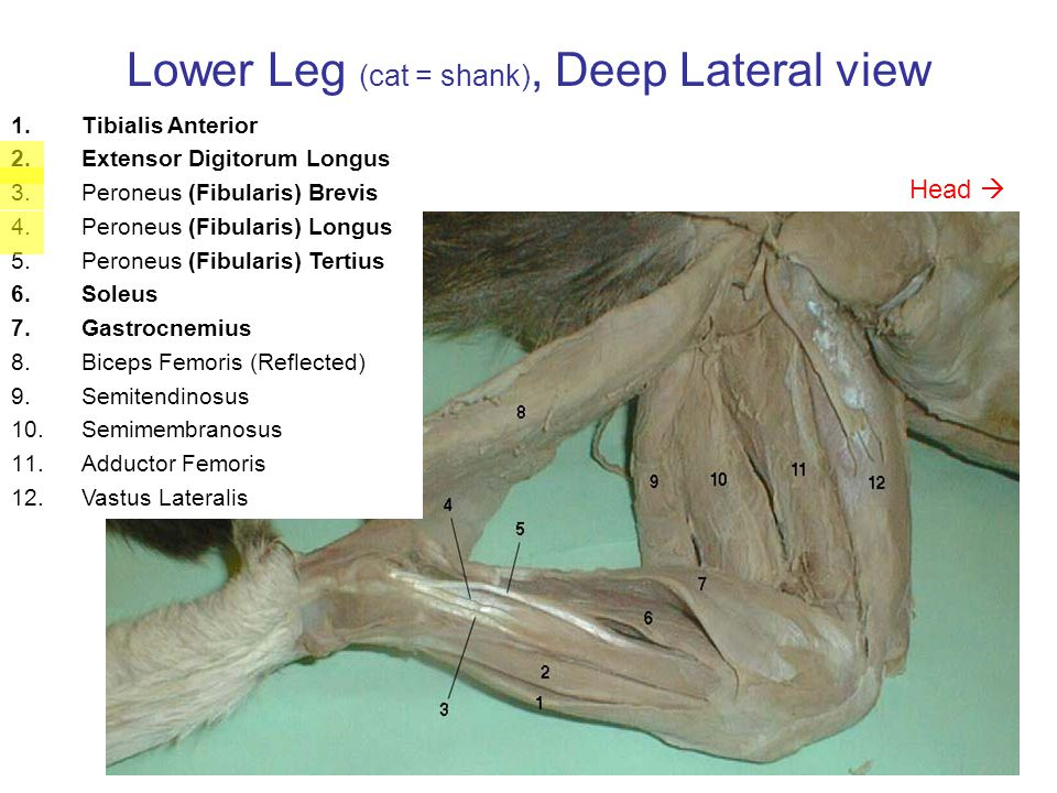 Lower Leg (cat = shank), Deep Lateral view **Tenuissimus 1.Biceps Femoris (Reflected) 2.Caudofemoralis (Reflected) ** 3.Gluteus Maximus (Reflected) 4.Gluteus Medius 5.Tensor Fasciae Latae (Ref.) 6.Semitendinosus 7.Semimembranosus 8.Adductor Femoris **no homolog 9.Sciatic Nerve 10.Vastus Lateralis 11.Sartorius 12.Tibialis Anterior 13.Extensor Digitorum Longus 14.Peroneus (Fibularis) Complex 15.Soleus 16.Gastrocnemius ** Head 