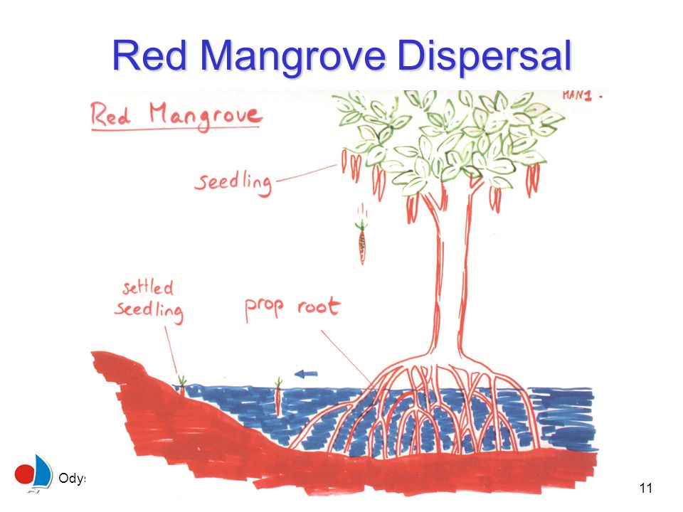 Odyssey Expeditions - Mangroves 11 Red Mangrove Dispersal
