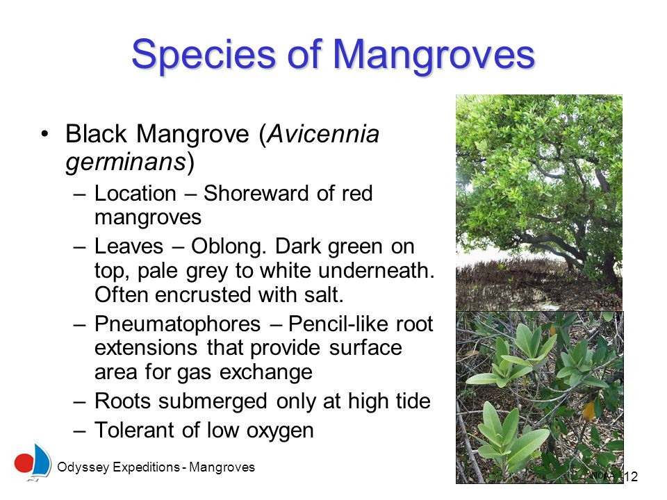 Odyssey Expeditions - Mangroves 12 Species of Mangroves Black Mangrove (Avicennia germinans) –Location – Shoreward of red mangroves –Leaves – Oblong.