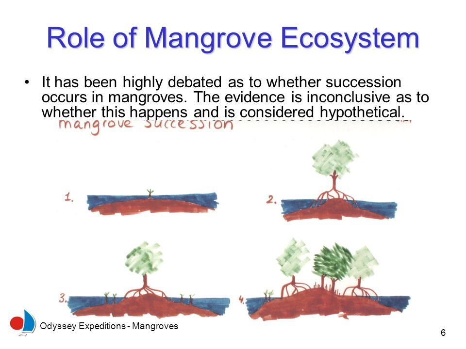 Odyssey Expeditions - Mangroves 6 Role of Mangrove Ecosystem It has been highly debated as to whether succession occurs in mangroves. The evidence is