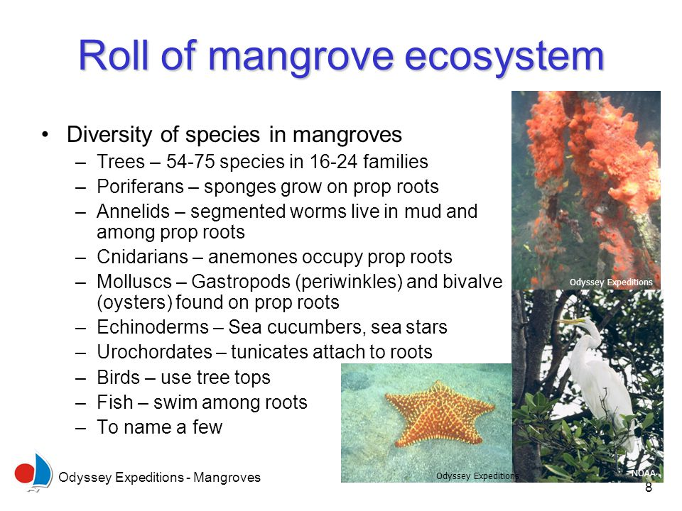 Odyssey Expeditions - Mangroves 8 Roll of mangrove ecosystem Diversity of species in mangroves –Trees – 54-75 species in 16-24 families –Poriferans –