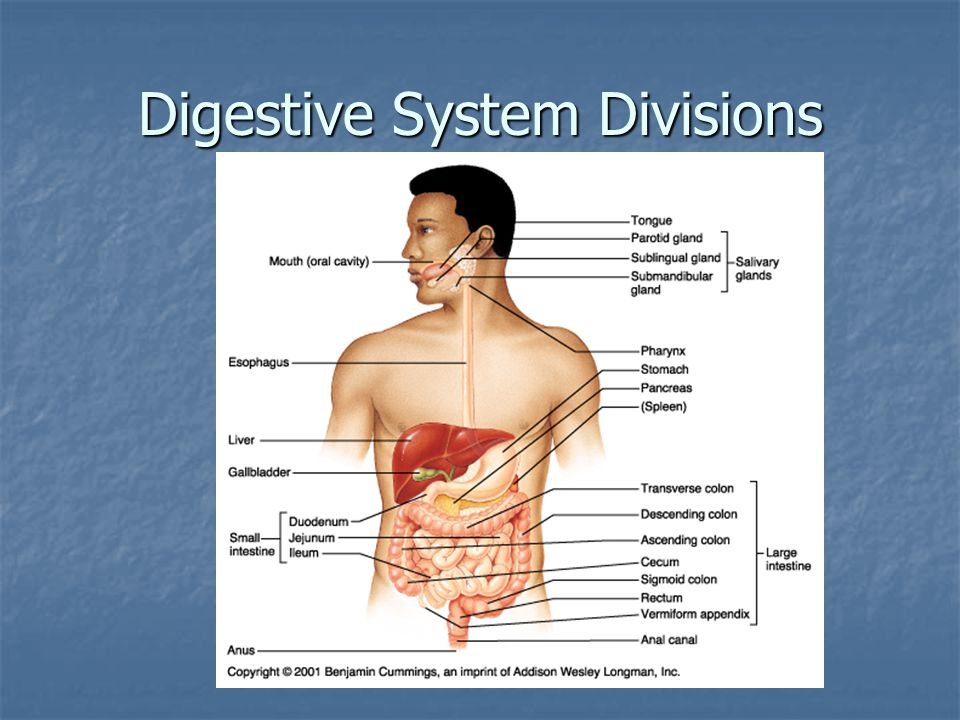 Digestive Processes in the Stomach