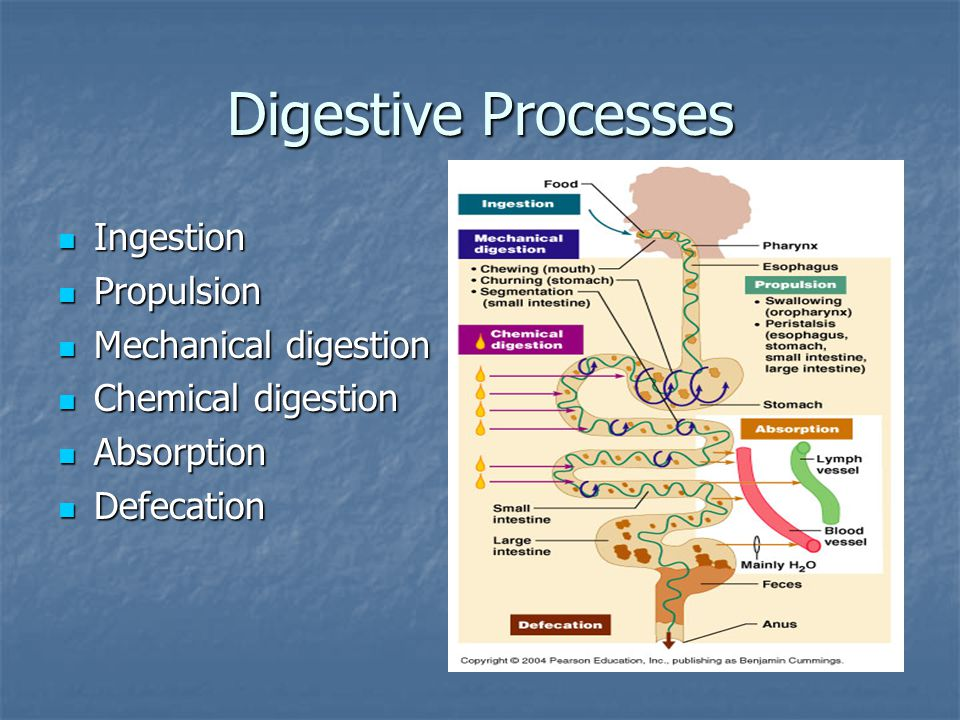 Digestive Processes in the Mouth, Pharynx, and Esophagus Mouth processes: Mouth processes: Ingestion Ingestion Mechanical digestion (e.g.