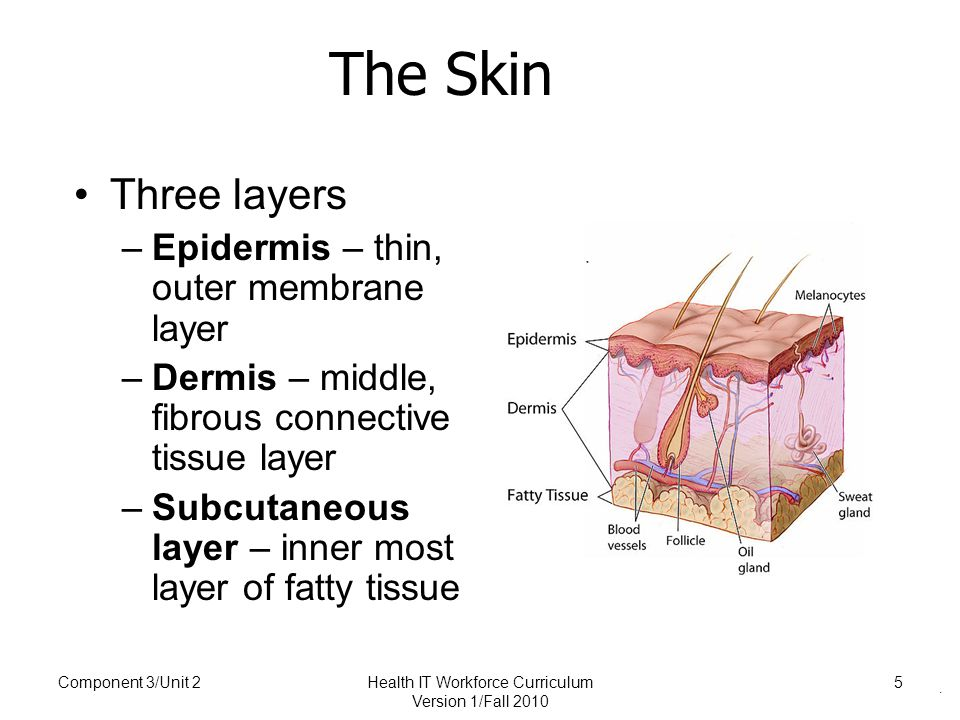 . The Skin Three layers –Epidermis – thin, outer membrane layer –Dermis – middle, fibrous connective tissue layer –Subcutaneous layer – inner most layer of fatty tissue Component 3/Unit 2Health IT Workforce Curriculum Version 1/Fall 2010 5