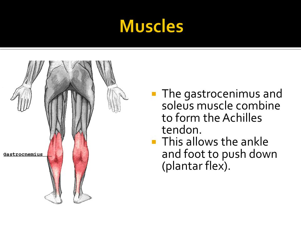  The gastrocenimus and soleus muscle combine to form the Achilles tendon.