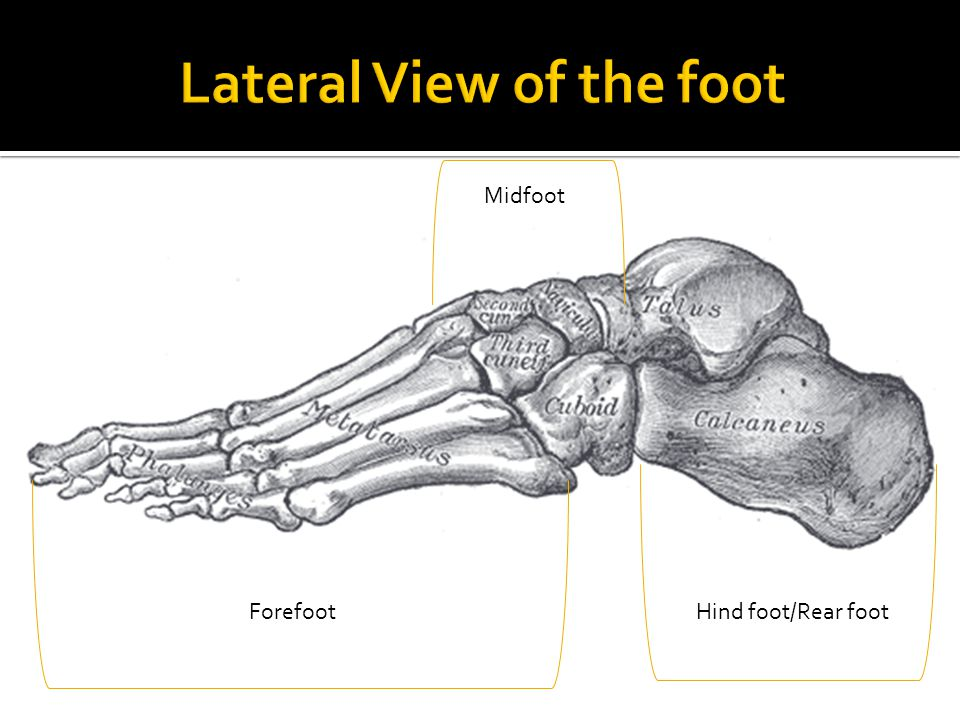 Hind foot/Rear foot Midfoot Forefoot