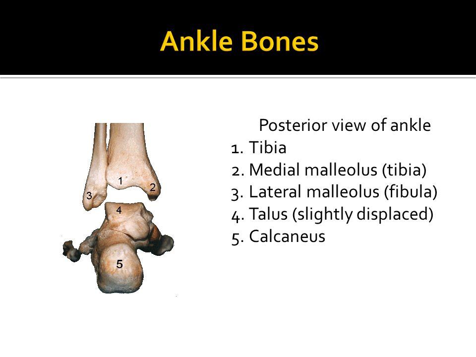 Posterior view of ankle 1.Tibia 2.Medial malleolus (tibia) 3.Lateral malleolus (fibula) 4.Talus (slightly displaced) 5.Calcaneus 5