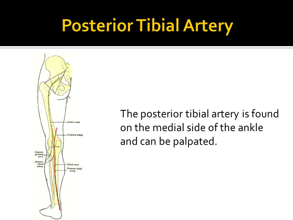 The posterior tibial artery is found on the medial side of the ankle and can be palpated.