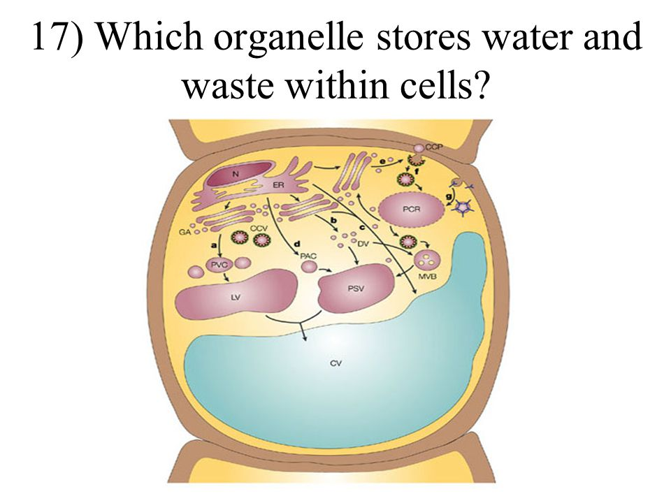 16)Which organelle is created by the nucleolus?